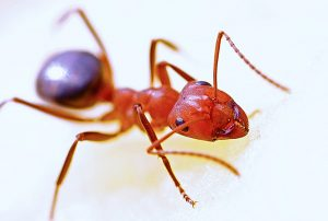 Red ant, possibly a fire ant, from Pixabay (User: 631372)